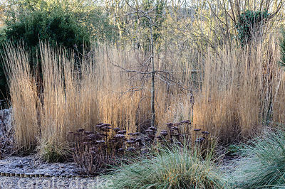 Frosted forms of Sedum spectabile around a weeping hornbeam and Calamagrostis x acutiflora 'Karl Foerster' with clumps of Sti...