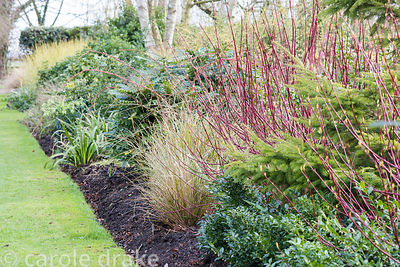 Winter border with red stems of Cornus alba 'Sibirica'  and evergreens including sarcococca, mahonia and conifers at Ellicar ...