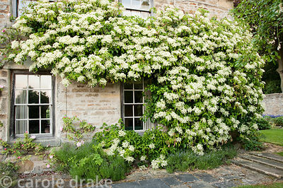 Wall trained pyracantha. Whalton Manor Gardens, Whalton, Northumberland, UK