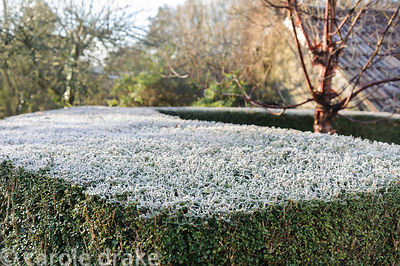 Frost whitens a Lonicera nitida hedge surrounding the Sunken Garden at the Barn House, Brockweir Common, Glos, UK
