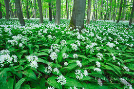 Beech forest with bear garlic (lat. fagus sylvatica) - Europe, Germany, Thuringia, Unstrut-Hainich, Schönstedt, Thiemsburg, w...