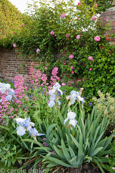 Blue irises amongst Centranthus ruber and pink roses. Whalton Manor Gardens, Whalton, Northumberland, UK