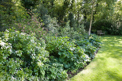 Shady border planted with hostas, brunnera, ferns, hellebores and hardy geraniums, with shrubs including cornus and sarcococca.
