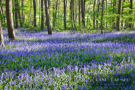 Common bluebell in beech forest (lat. hyacinthoides non-scripta) - Europe, Germany, North Rhine-Westphalia, Cologne, Düren, L...