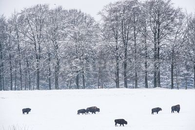 BELGIUM : ROCOGNE ILLUSTRATION FERME A BISON - ILLUSTRATION FERME A BISON