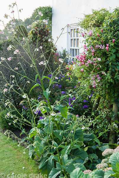 Border around the house includes clipped box, sedums, pink clematis and tall, airy Nicotiana mutabillis. Crab Cottage, Shalfl...