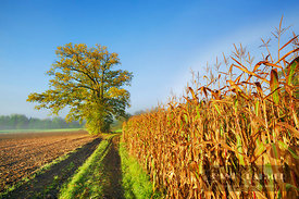 Maize field and oak (lat. zea mays) - Europe, Germany, Bavaria, Upper Bavaria, Starnberg, Seefeld (Fünfseenland) - digital - ...