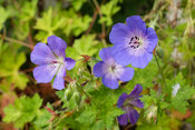 Purple meadow crane's-bill