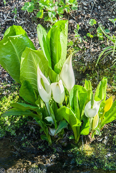 Streamside planting includes Lysichiton camtschatcensis, AGM. Melplash Court, Bridport, Dorset, UK