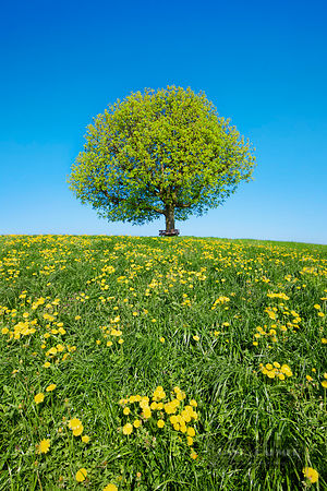 Horse chestnut and dandelion meadow in bloom (lat. aesculus hippocastanum) - Europe, Switzerland, Thurgau, Wil, Oberbüren - d...