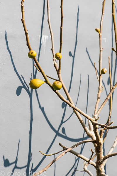Trained figs cast shadows against a grey wall in a formal kitchen garden.