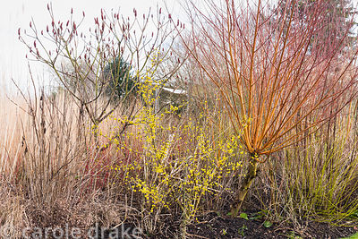 Cornus mas with Salix alba var. vitellina 'Britzensis', grasses and Rhus typhina at Ellicar Gardens, Notts