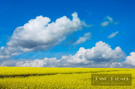Rape field and cumulonimbus clouds (lat. brassica napus) - Europe, Germany, Saxony, Saxon Switzerland-East Ore Mountains, Neu...