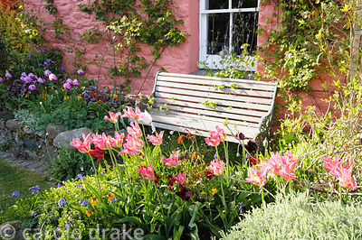The front garden is full of tulips, in pots and borders, including 'China Pink' and fringed 'Cummins'.