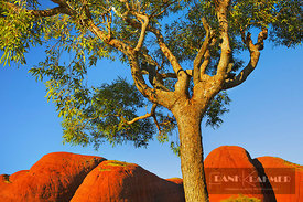 Eucalyptus tree and Olgas (lat. eucalyptus) - Australia, Australia, Northern Territories, Uluru-Kata-Tjuta National Park, Olg...