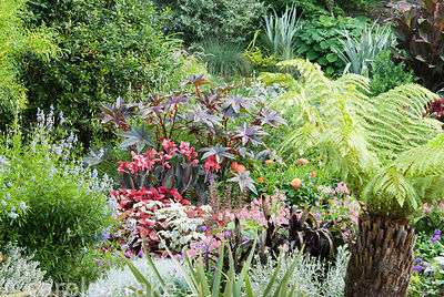 Exuberant planting framed by the fronds of a tree fern includes ricinus, cannas, Saliva uliginosa and dark Pennisetum glaucum...