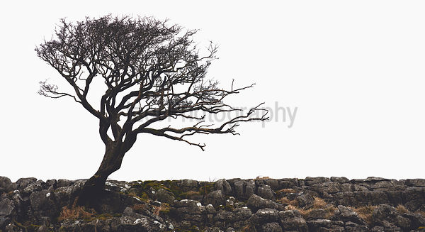 The bare branches of a winswept tree in winter at Malham in the