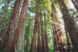 Coast redwood forest  (lat. sequoia sempervirens) - North America, USA, California, Del Norte, Jedediah Smith Redwoods State ...