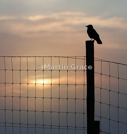 Western Jackdaw (Corvus monedula) standing on a fence post, silhouetted against a wintry sunset sky, Badenoch & Strathspey, S...