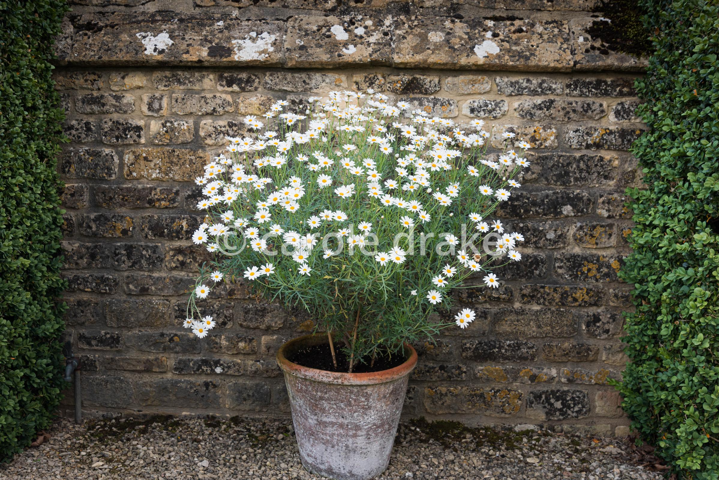 Argyranthemum frutescens in a terracotta pot against a wall at Bourton House, Moreton-in-Marsh in August