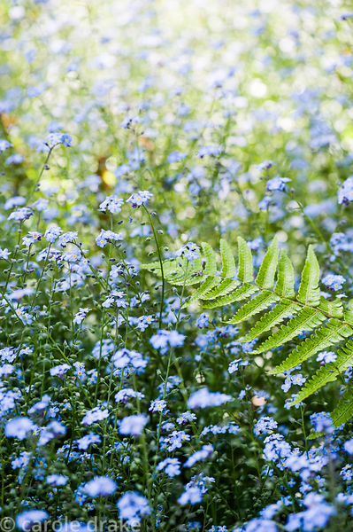 A sea of forget-me-nots, Myosotis scorpioides, around ferns.