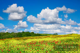 Flower meadow with mustard and poppies - Europe, Italy, Tuscany, Siena, Val d'Orcia, Pienza, north of - digital