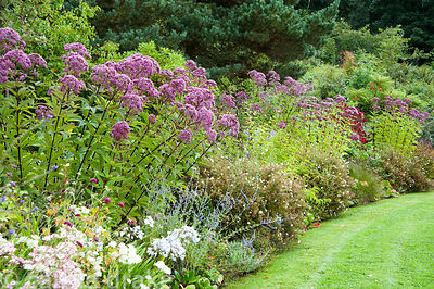 Border between on woodland edge of the garden is planted with purples, pinks and whites including potentialls, Eupatorium mac...