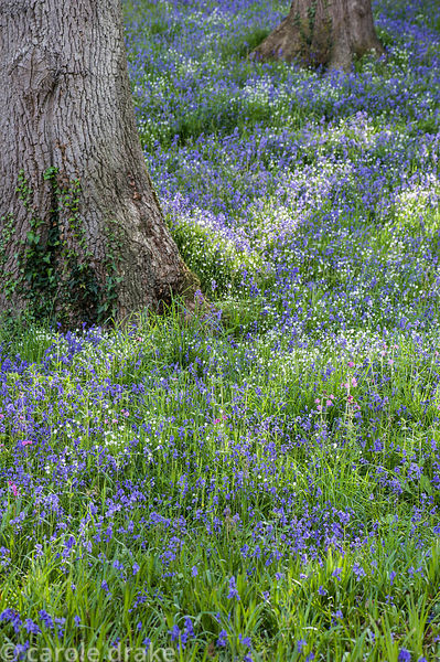 Sloping valley sides in The Dell are covered with bluebells and starry white stitchwort.