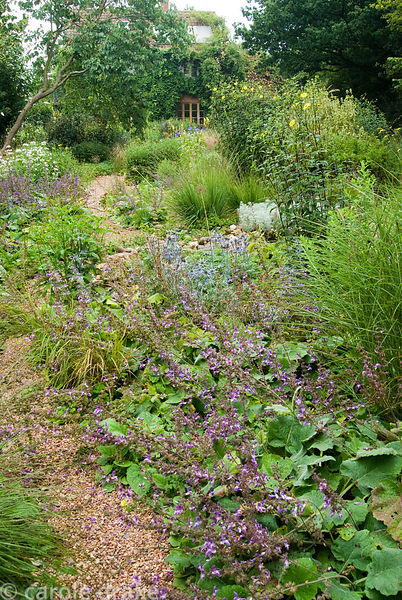 Stone garden to the south of the house includes Salvia forsskaolii, tall yellow flowered Helianthus microcephalus and Artemis...