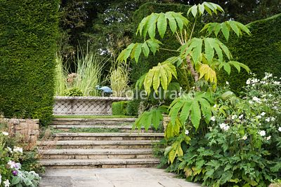 Tetrapanax papyrifera 'Rex' beside steps leading up to the Knot Garden at Bourton House, Moreton-in-Marsh in August with bask...