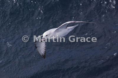 Southern (Antarctic) Fulmar (Fulmarus glacialoides) in flight, Weddell Sea, Antarctica