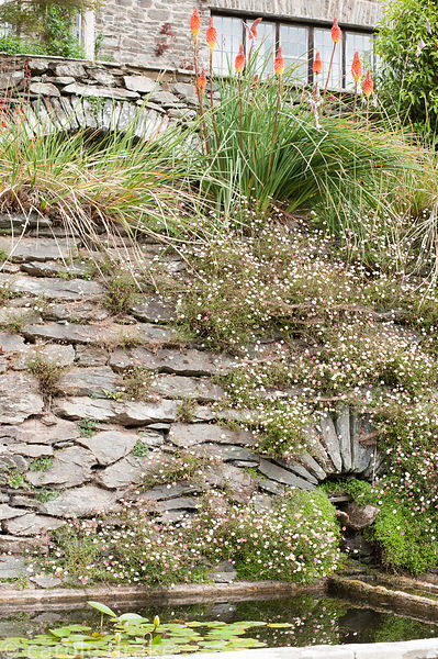 Each terrace has a pool, framed by stonework colonised by wall daisy, Erigeron karvinskianus. Coleton Fishacre, Kingswear, De...