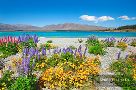 Flower meadow with lupines and poppies at Lake Tekapo - Oceania, New Zealand, South Island, Canterbury, Mackenzie, Lake Tekap...