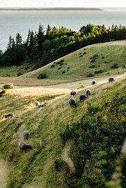 Mors landscape with sheep, Denmark 03