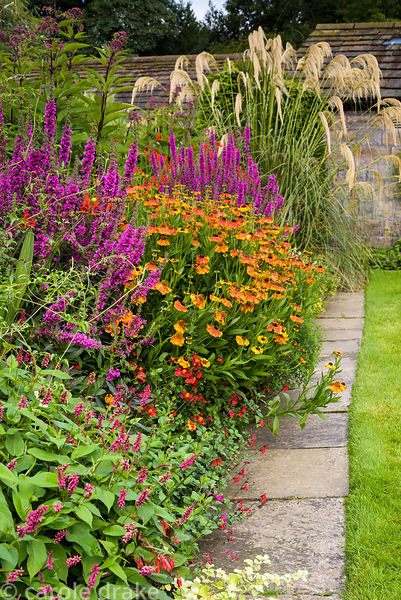 Border in the front garden including helenium, persicaria, salvia and lythrum at York Gate Garden, Adel in July
