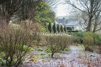 Willows along a path in the bog garden with avenue of clipped yews above at the Old Rectory, Netherbury in January