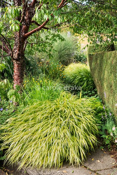 Hakonechloa macra 'Aureola' at the base of Prunus serrula at Barn House, Gloucestershire in September.