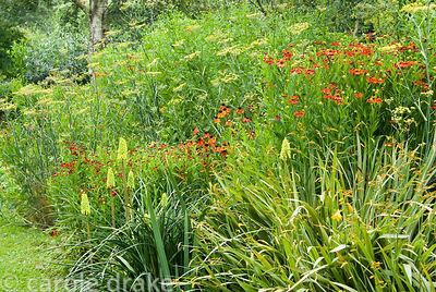 Kniphofia 'Shining Sceptre' amongst some of the garden's helenium National Collection and Crocosmia 'Gerbe d'Or'. Holbrook Ga...