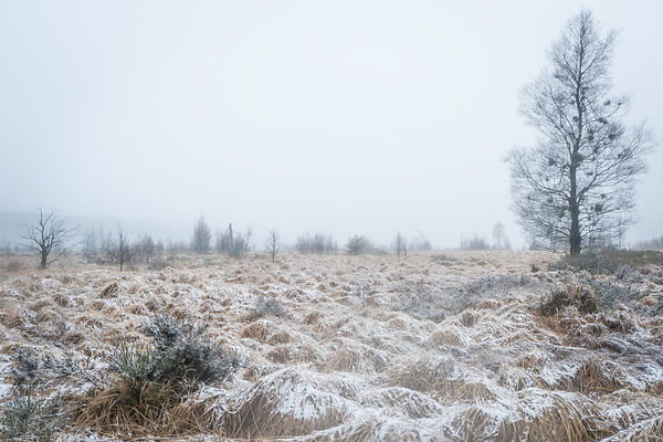 Witches' broom birch in snowy High Fens landscape