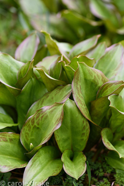 New leaves of Erythronium 'Pagoda'