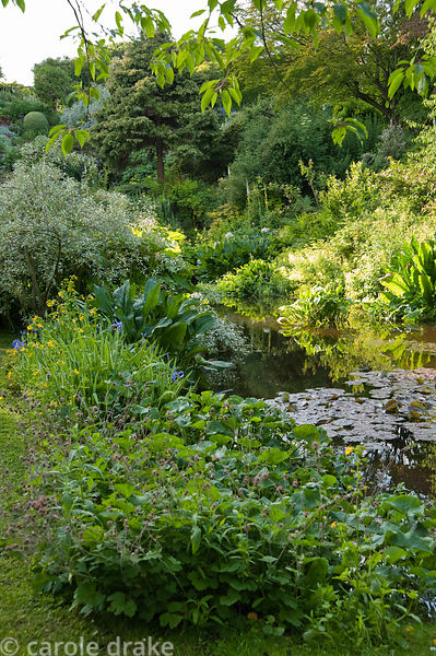Pond surrounded by geums, irises and mimulus with Lysichiton americanus and water lilies. Mindrum, nr Cornhill on Tweed, Nort...