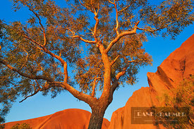 Eucalyptus tree at Ayers Rock (lat. eucalyptus) - Australia, Australia, Northern Territories, Uluru-Kata-Tjuta National Park,...