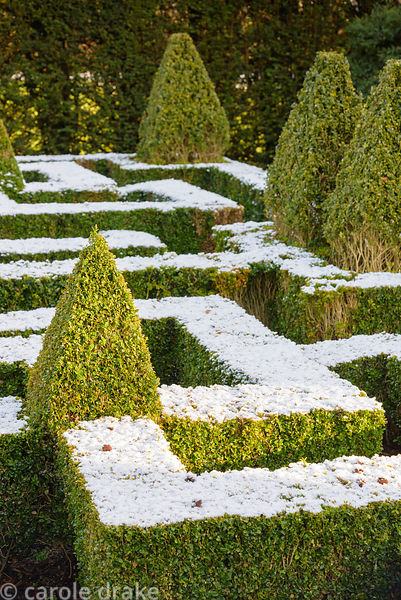 A knot garden punctuated by variegated box pyramids is dusted with snow in January at Bourton House in the Cotswolds