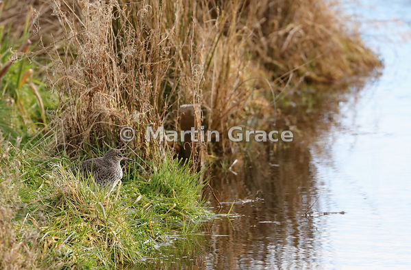 Common Redshank (Tringa totanus) standing in grasses by a small lochan, Kincraig, Inverness-shire, Scottish Highlands