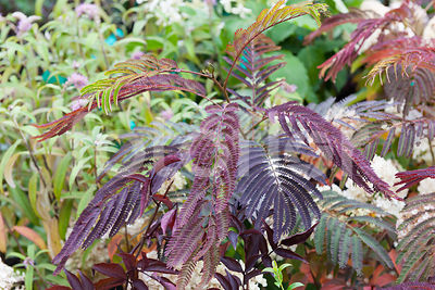 Albizia julibrissin 'Summer Chocolate', acacia de Constantinople