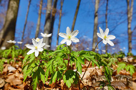 Wood anemone in beech forest (lat. anemone nemorosa) - Europe, Germany, Bavaria, Upper Bavaria, Starnberg, Weßling (Fünfseenl...