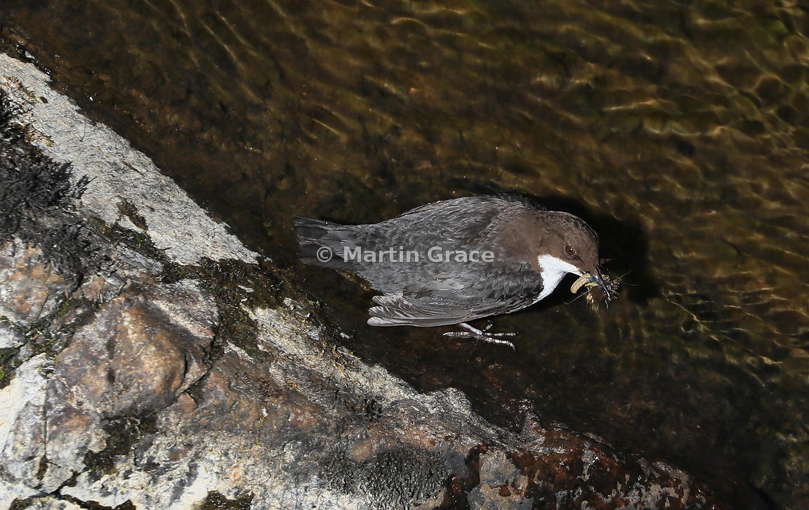 White-Fronted (White-Throated) Dipper (Cinclus cinclus), Badenoch & Strathspey, Inverness-shire, Scotland
