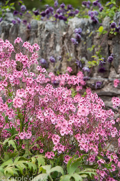 Diascia integerrima with Clematis viticella 'Flore Pleno' in the Rill garden. Coleton Fishacre, Kingswear, Devon, UK