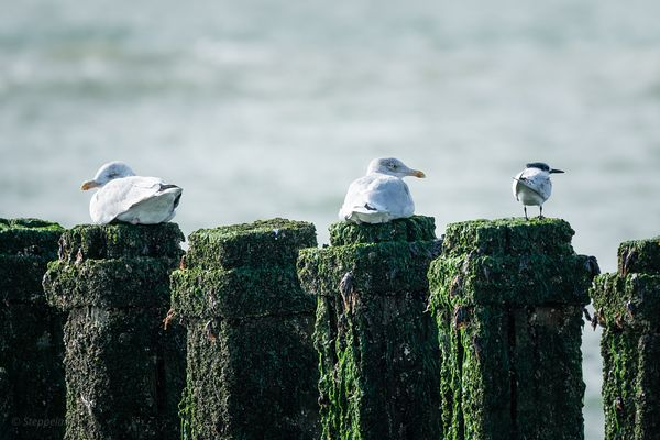 Seagulls and Sandwich Tern on breakwater poles