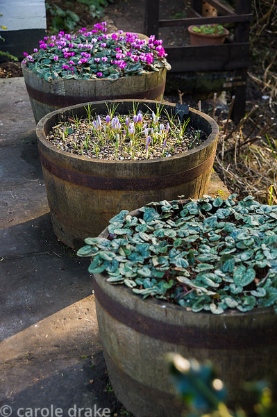 Cyclamen and crocuses growing in half barrels.